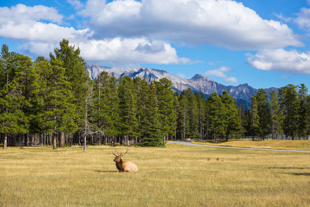 branchy: The deer has a rest. The red deer with branchy horns lies in a grass on fringe of the forest. Rocky Mountains in Canada