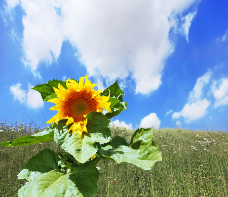 kibbutz: Gorgeous huge sunflower on a field overgrown with weeds. Kibbutz in southern Israel