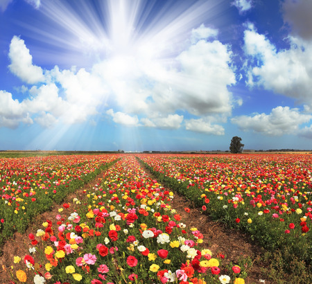 kibbutz: A lot of lovely blooming buttercups and shining clouds. Shining sharp rays of the sun illuminate the kibbutz field. Stock Photo