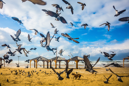 off day: The windy January day in the Mediterranean. Large flock of pigeons taking off in  fright from sandy beach