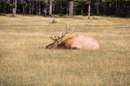 branchy: The deer has a rest. Rocky Mountains in Canada. Red deer with branchy horns lies in a grass on the fringe of the forest
