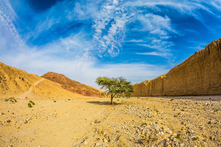 black stone: The stone desert in mountains of Eilat, Israel. Tree Desert Acacia tortilis in the Black Canyon