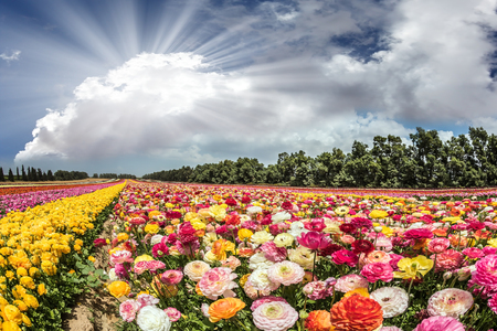 kibbutz: Flower kibbutz near Gaza Strip. The suns rays shine from cumulus clouds. Spring flowering buttercups