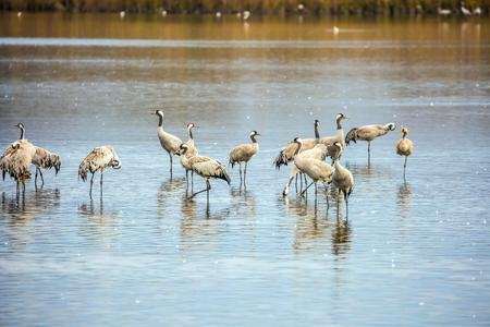 wintering: Migratory gray crane wintering on the lake. Fantastic winter dawn at Lake Hula. Hula Nature Reserve, Upper Galilee, Israel