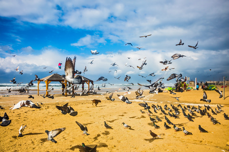 The noisy flock of pigeons taking off in fright from sandy beach. The windy January day in the Mediterranean Stock Photo