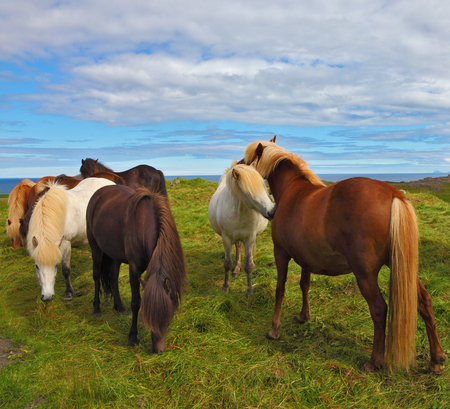 ranging: Icelandic horses on the shore of the fjord. Beautiful and well-groomed horse chestnut and white suit on free ranging