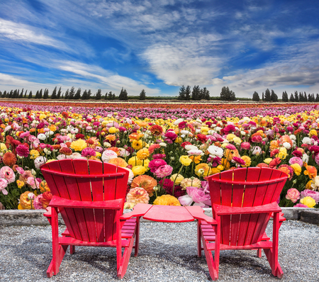flowering field: Spring flowering ranunculus. Pair of bright plastic garden chairs. Multi-color field of large garden buttercups