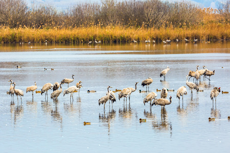 wintering: Fantastic winter dawn at Lake Hula. Upper Galilee, Israel. Migratory gray cranes wintering on the lake
