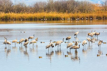 wintering: Fantastic winter dawn at Lake Hula. Upper Galilee, Israel. Migratory gray cranes wintering on the lake