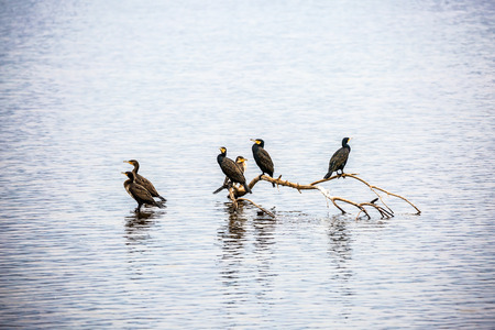 wintering: Winter dawn in Upper Galilee, Israel. Migratory cormorants wintering on Lake Hula