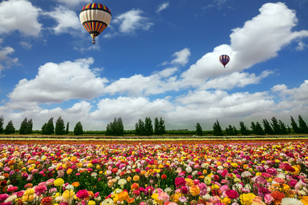 kibbutz: Two magnificent multi-colored balloons flying over flower field. The buttercups on the field planted by color stripes. Israeli kibbutz on the border with Gaza Strip