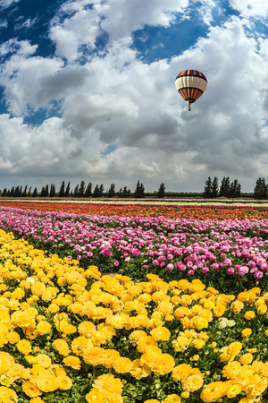 kibbutz: Spring flowering buttercups. Great multi-colored balloon flies over flower field. Flower kibbutz near Gaza Strip Stock Photo