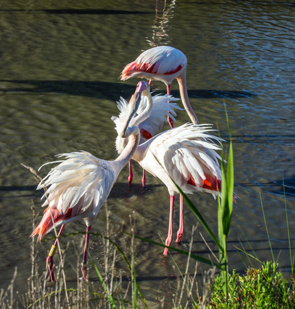 exotic birds: Love pink flamingos. Picturesque exotic birds tenderly embrace each other