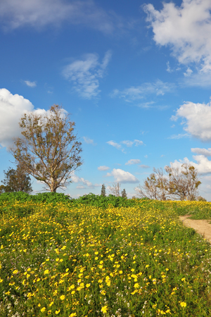camomiles: Camomiles in the south of Israel. Wonderful blossoming spring field