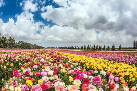 kibbutz: Huge field of blossoming buttercups. Spring carpet of flowers. Israeli kibbutz