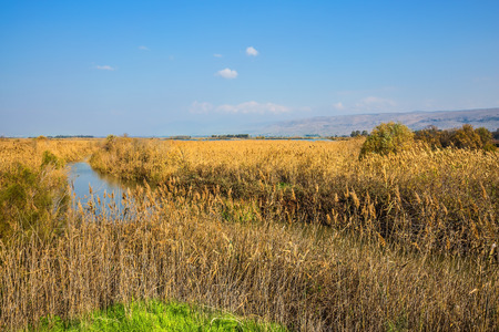 wintering: Lake Hula is a wintering place for migratory birds. Dense thickets of marsh grass. Park Hula Nature Reserve, Israel, December