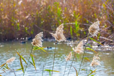 wintering: Flock of waterfowl winters at Lake Hula. Hula Nature Reserve, Israel, December Stock Photo