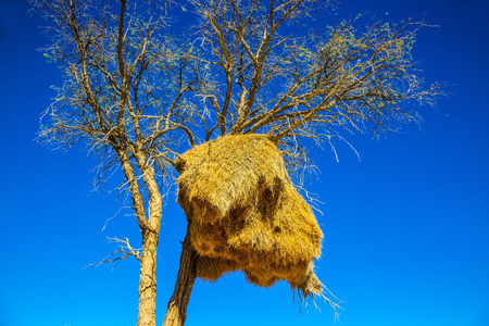 huge tree: Travel to Namibia, Africa. Huge colony of weaver birds. Jack arranged on a tree next to the road