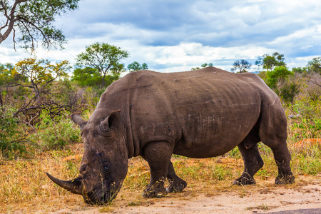 nibbling: South Africa, Kruger National Park. Huge rhino peacefully nibbling the grass on side of the road Stock Photo