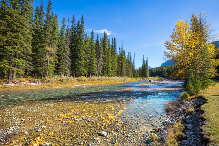 pine creek: Banff National Park. Canada, Rocky Mountains. Beneaped creek autumn, surrounded by pine forest