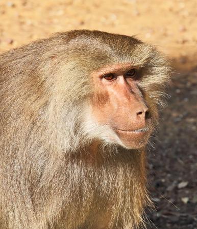 apes: Orangutan apes. Zoo Safari in Israel
