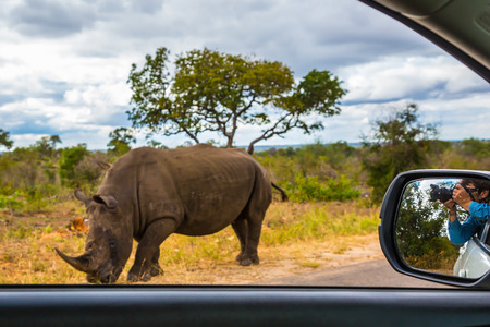 nibbling: Huge rhino peacefully nibbling the grass on side of the road. The woman photographs him from a car window.  South Africa, Kruger National Park