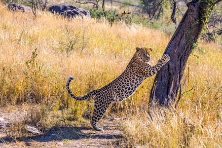 huge tree: Private farm safari in Namibia. Huge leopard sharpens his claws on a tree