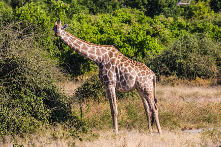 conservation grazing: Animals in South Africa. The famous Kruger National Park. Giraffes feeding eating around the treetops