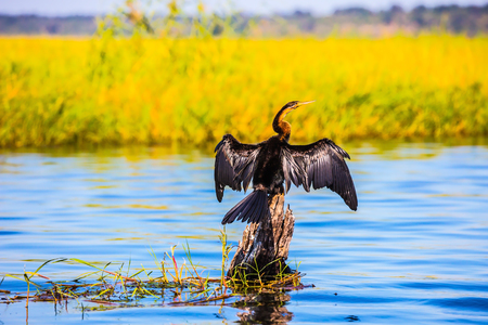 zambezi: African cormorant dries its wings. Big Bird wings opened sitting on a tree among water. Botswana, Chobe National Park on the Zambezi River