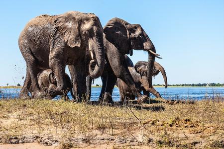 chobe national park: Family of elephants with two calves came to drink. Botswana Chobe National Park, the river Zambezi