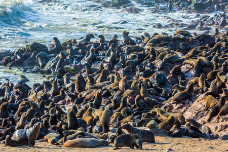 reserve: Reserve fur seals in Namibia, Cape Cross. Stock Photo