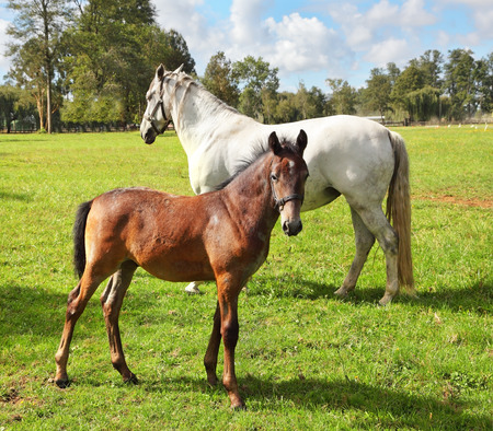 thoroughbred: White horse with his bay colt on green lawn. Riding school and breeding of thoroughbred horses Stock Photo