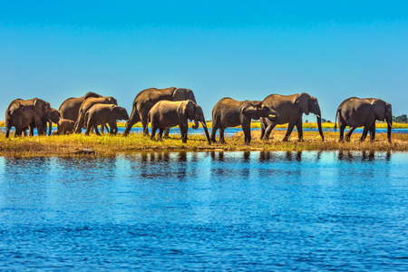 Botswana National Park Chobe on the river Zambezi. Large herd of elephants with calves come to drink