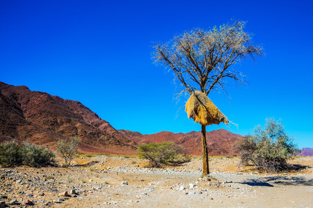 huge tree: Huge colony of weaver birds. Jack arranged on a tree next to the road. Travel to Namibia, Africa