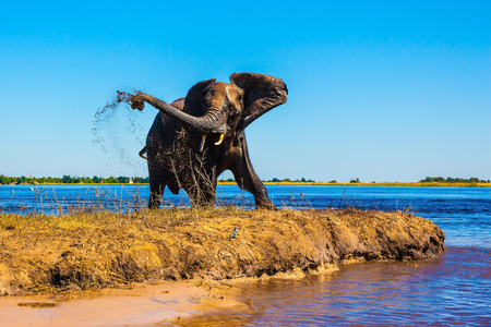 Lone elephant clean river silt. Botswana National Park Chobe on the river Zambezi
