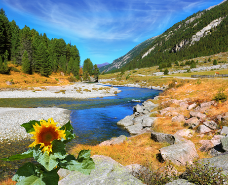 pine creek: The narrow stream flows between fields and pine forests. Autumn creek shallow. On the bank of the stream grows sunflower.