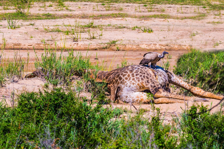 pecks: Griffin vulture pecks dead giraffe. The famous Kruger National Park, South Africa Stock Photo