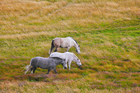 dappled: Two white and gray in the dappled white horses grazing on a grassy meadow Stock Photo