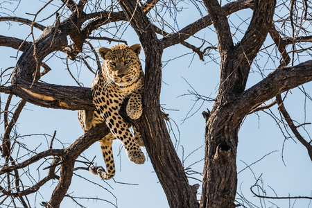 huge tree: Private farm safari in Namibia. Huge and full leopard sitting on a tree branch in  safari park Stock Photo