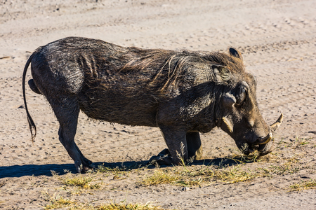 nibbling: South Africa, Kruger National Park. Huge wild warthog peacefully nibbling the grass beside the road Stock Photo