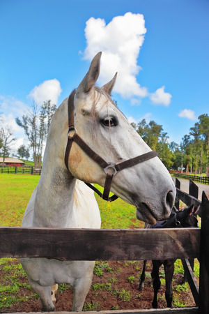 racehorses: The beautiful head of a white horse on a green lawn. Riding school and breeding of thoroughbred racehorses