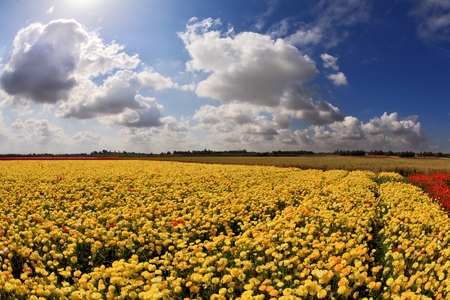 kibbutz: Spring in Israel. Picturesque field of bright yellow buttercups - ranunculus.