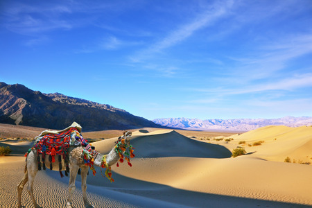 yells: Camel in the desert song. Dromedary yells at the sand dunes. Dromedary decorated with picturesque harness and bright red blanket