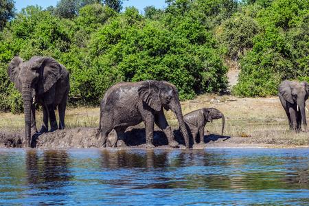 chobe national park: Family of elephants with calves came to drink. Botswana Chobe National Park, the river Zambezi