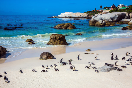 table mountain national park: Boulders Penguin Colony in the Table Mountain National Park. African black-white penguins. Animals in South Africa Stock Photo