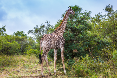 conservation grazing: Animals in South Africa. The famous Kruger National Park. Giraffes graze, eating the tops of trees Stock Photo