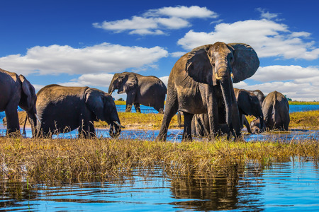 chobe national park: Botswana Chobe National Park, the river Zambezi. Herd of elephants come to drink Stock Photo