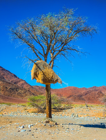 waterless: The concept of exotic tourism. Red Namib desert in Namibia. At a roadside tree, built a large nest tropical bird - finch