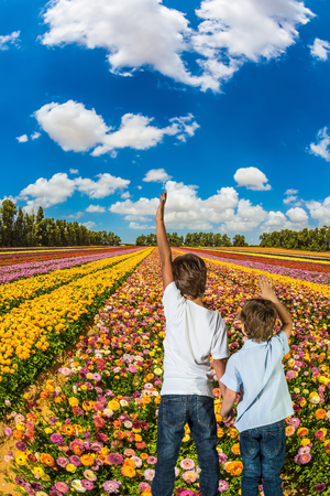 kibbutz: Two boys hold hands and look at the field of blossoming garden buttercups. Israel, the spring bloom in a kibbutz