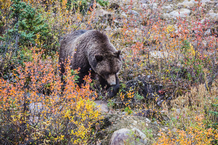 bear berry: Big brown bear looking for berries and acorns. Autumn forest in Jasper National Park Stock Photo
